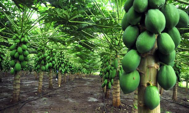 Mamão papaia - propriedades e benefícios á saúde – vitamina a e c. Planta com mamão papaia.