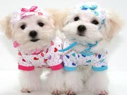 cachorros-de-roupas-femea