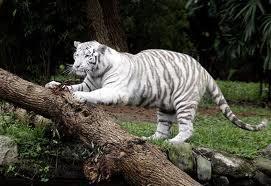 tigre-branco-zoo-safari