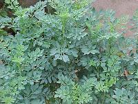 Arruda-chá-mestruação