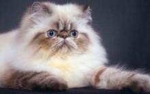 Como Prevenir Infecção Pulmonar em Gatos – Dicas