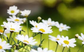 margarida-flor