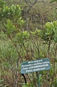planta-medicinal-alcaçuz