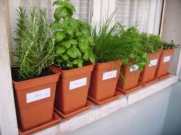 ervas-aromaticas-vasos