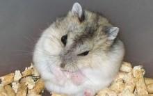 Quais os Cuidados e Como Cuidar de Hamster – Alimentação, Onde Criar, Higiene e Principais Doenças