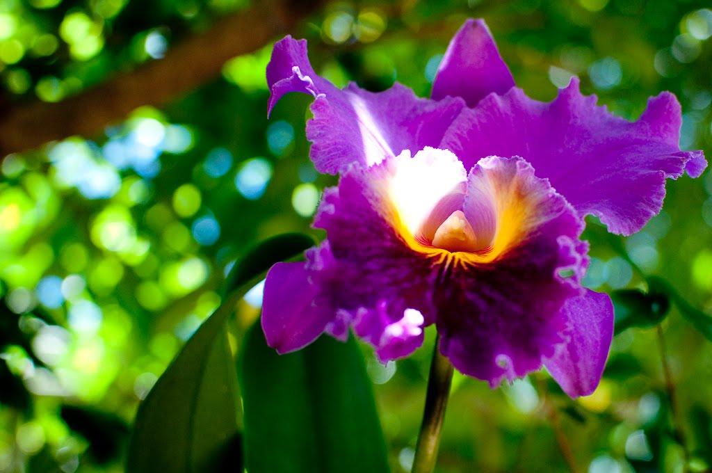 orquidea-catleia