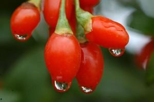 Cardápio Para Emagrecer à Base de Goji Berry – Dicas