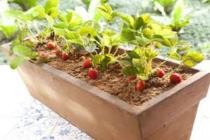 Como Cultivar Morangos em Casa – Dicas Para Plantar e Cuidados