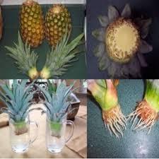 cultivar-abacaxi-vaso