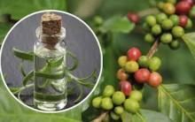Óleo de Café Verde – Para o Que Serve e Benefícios
