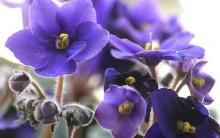 Violetas –  Cuidados e Como Plantar