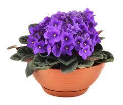 violetas-em-vasos-de-barros