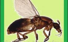 Maruim – Mosquito Pólvora – Picada –  Prevenção e Como Tratar