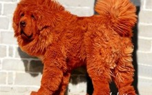 Cães Raros – Algumas Raças e Características