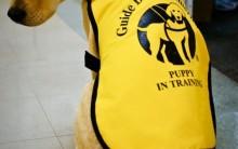 Cão-Guia – O Que é Preciso Saber – Treinamento, Acompanhante e Como Obter