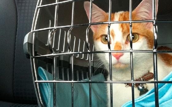 Como Preparar Gato Para Viajar