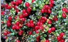 Cranberry ou Oxicoco – Benefícios à Saúde e Contra Indicações