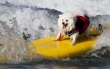 Surfdog – Modalidade Para Cães