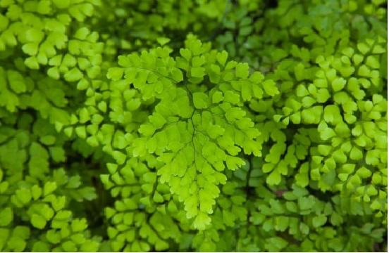 capillusveneris ela não é nativa do Brasil e é cultivada como
