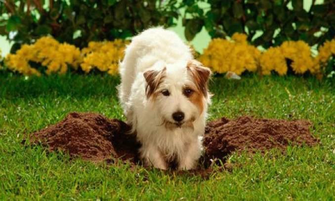 Cachorros Que Arranham a Própria Cama  Causas