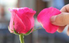 Água de Rosas e Pétalas – Como Fazer