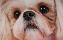 Lágrimas Ácidas Em Cães – Causas e Como Tratar