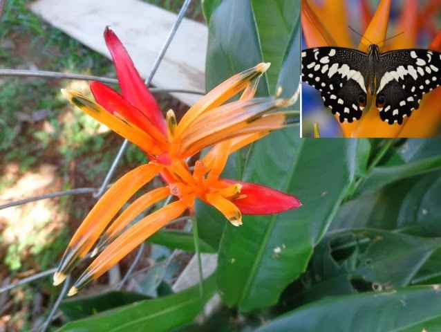 borboletas-no-jardim-heliconia