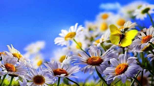 borboletas-no-jardim-margaridas