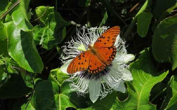 borboletas-no-jardim-maracuja