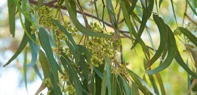 oleo-de-eucalipto