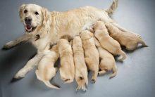 Cadela Prenha – Como Saber