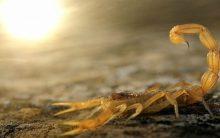 Picada de Escorpião – Como Tratar e Evitar