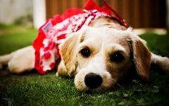 Piometra Em Cadelas – Sintomas e Tratamento