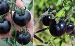 Exótico Tomate Preto – Benefícios