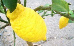 Fruta Cidra – Nutrientes e Benefícios