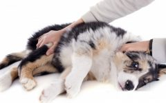 Epilepsia Em Cães – Sintomas