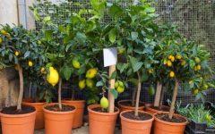 Plantas Frutíferas Para Vasos – As Melhores
