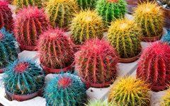 Cactos Coloridos – Como Plantar e Como Cuidar