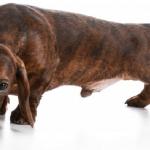 Dor Na Coluna do Cachorro – Sintomas e Como Prevenir