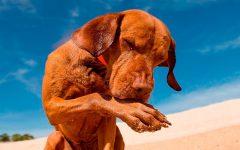 Cachorro Morder as Patas – Causas e Modo de Tratar
