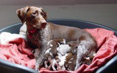 Mastite Canina – Causas e Sintomas